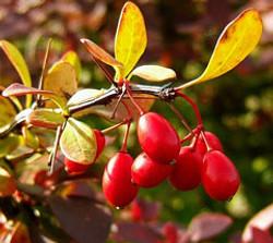 Japanese barberry - Berberis thunbergii 10