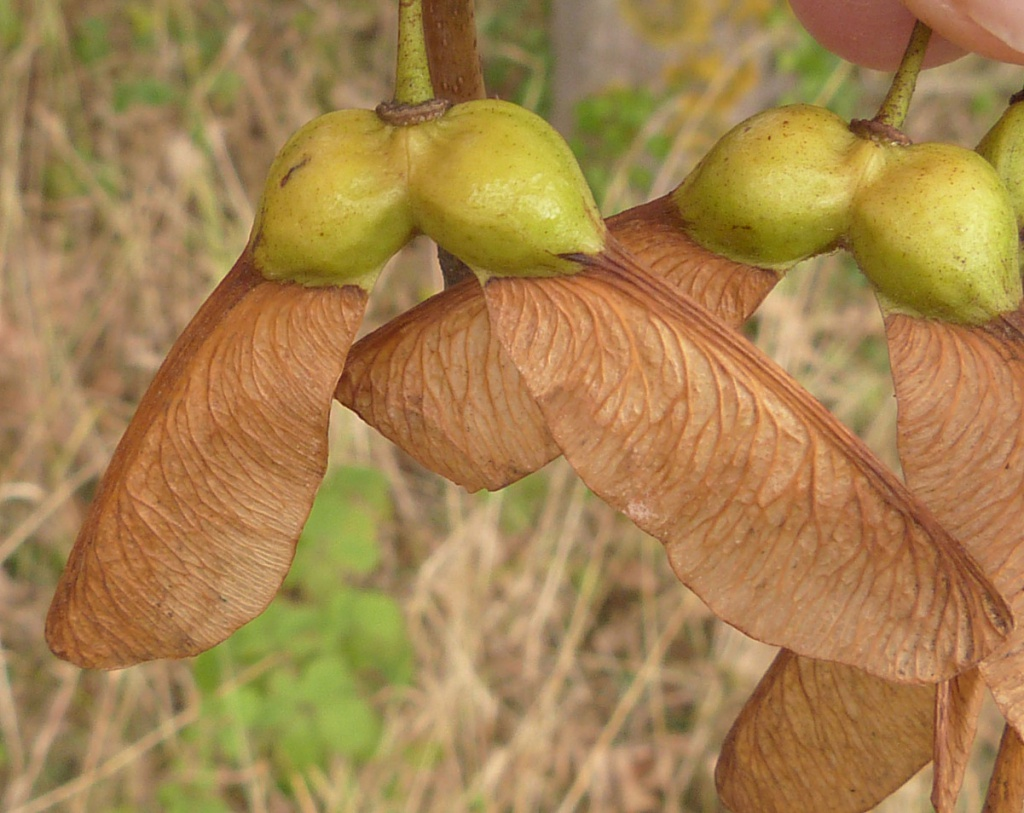 Sycamore - Acer pseudoplatanus 28
