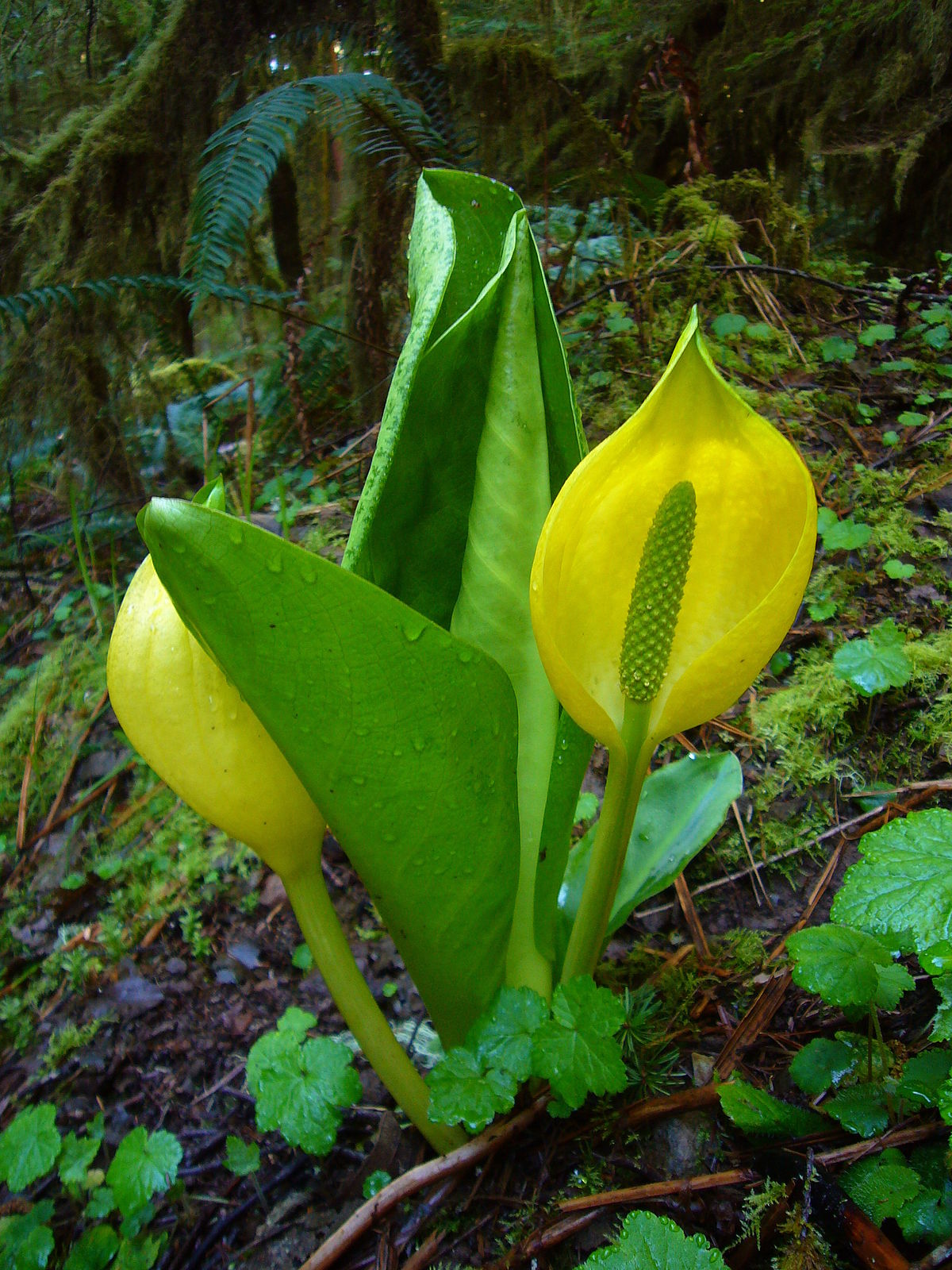 american skunk cabbage3