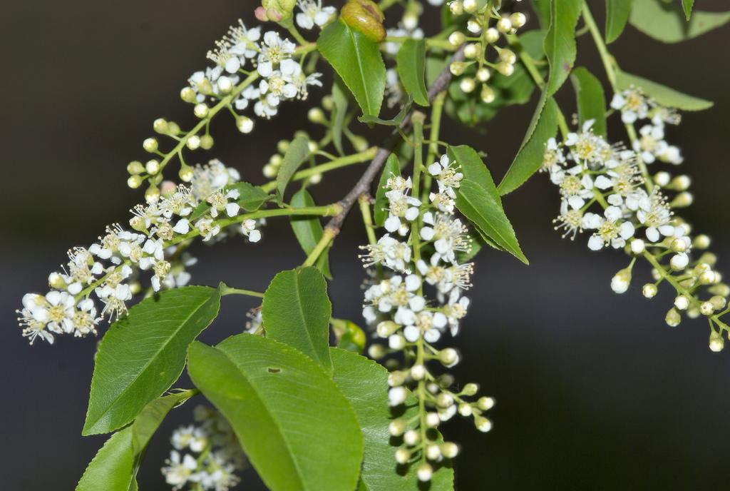 Rum cherry - Prunus serotina 9