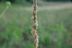 Alkali cordgrass - Spartina gracilis 11