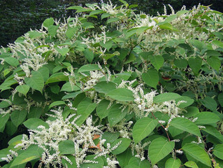 Home buyer wins case against surveyor who failed to spot Japanese knotweed
