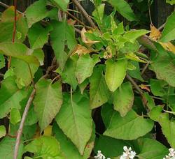 Russian-vine - Fallopia baldschuanica 39