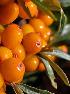 Sea-Buckthorn - Hippophae rhamnoides Fruit