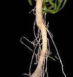 Canadian-fleabane Biodiversity Medium Risk Invasive Species 14