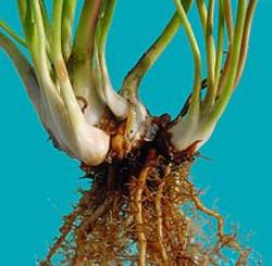 Pitcherplant - Sarracenia purpurea 2