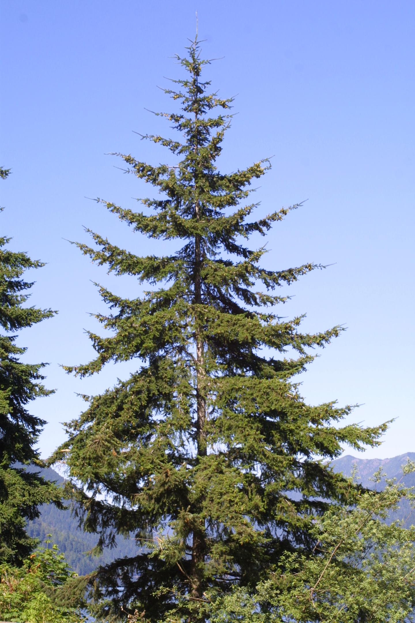 Douglas fir - Pseudotsuga menziesii 33