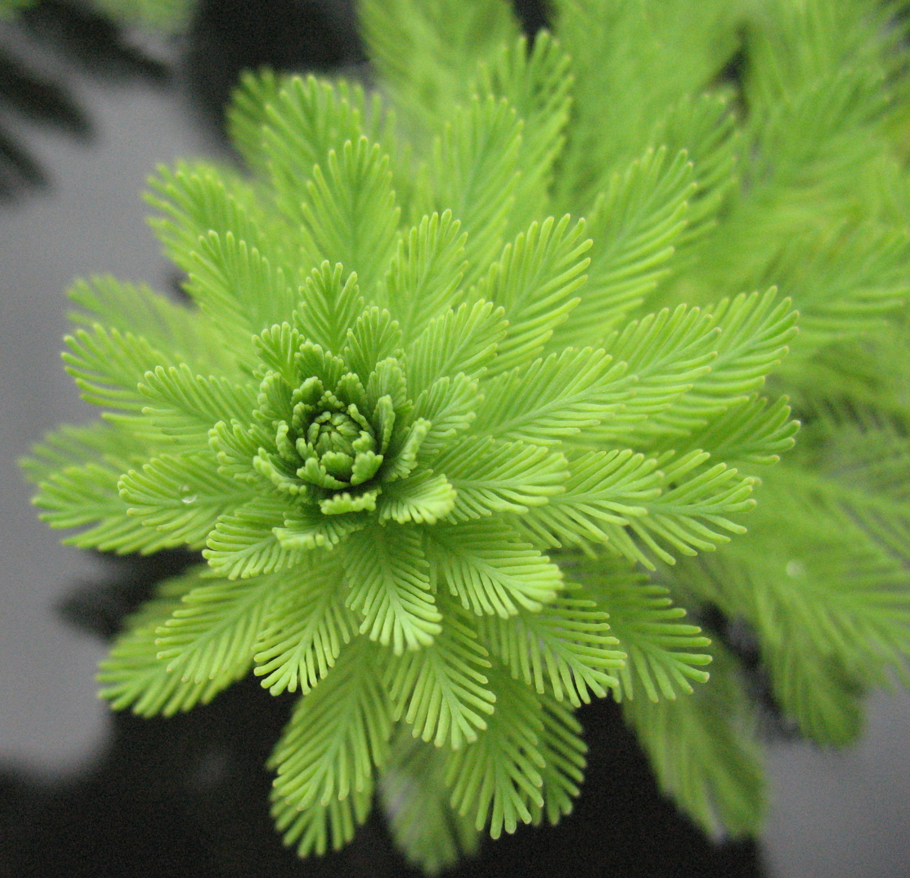 Parrots_Feather_- Myriophyllum_aquaticum_7