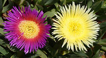 Hottentot-fig Flowers