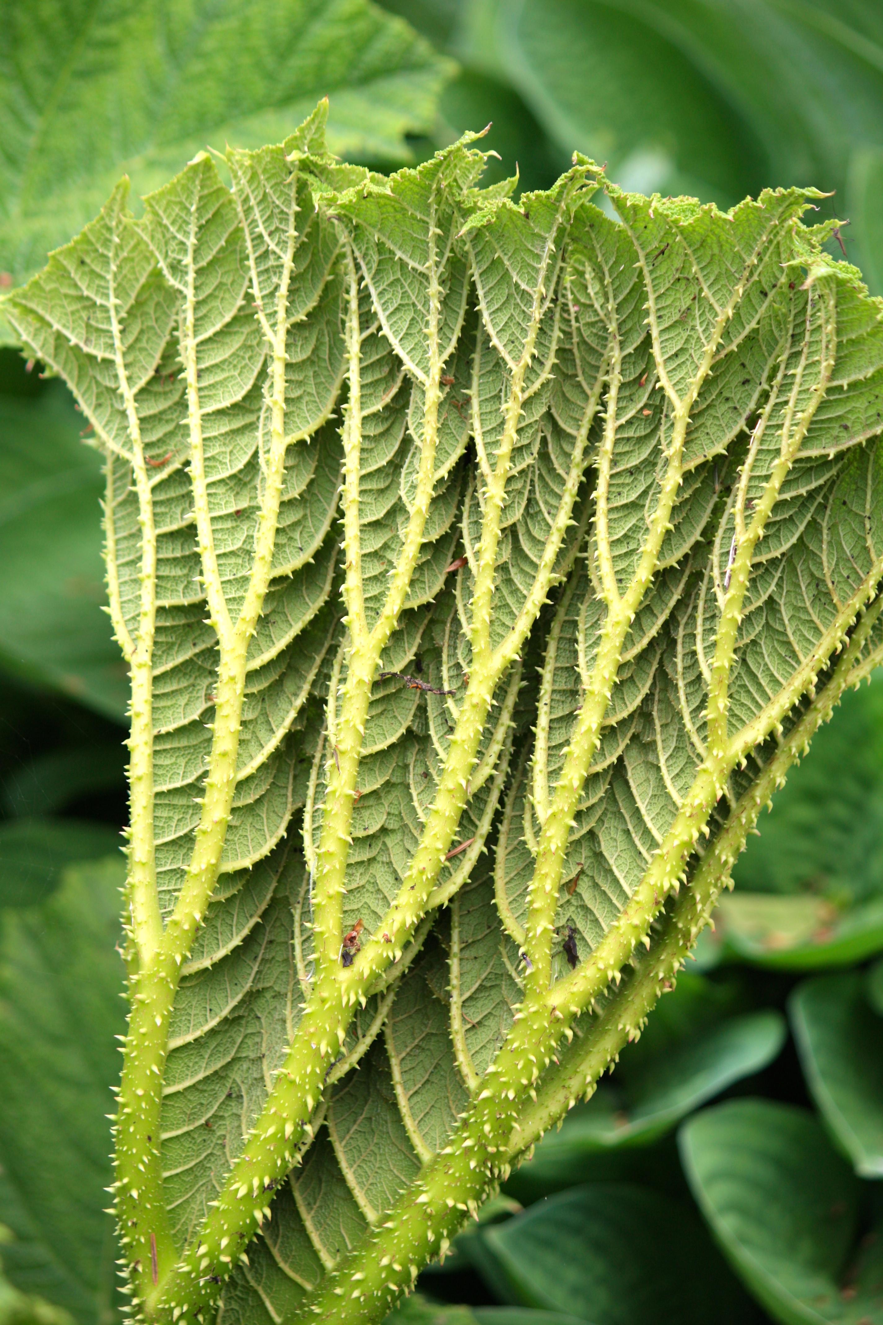 Brazilian Giant-Rhubarb - Gunnera manicata Leaves 7