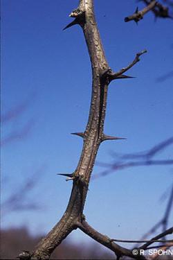 False acacia - Robinia pseudoacacia 45
