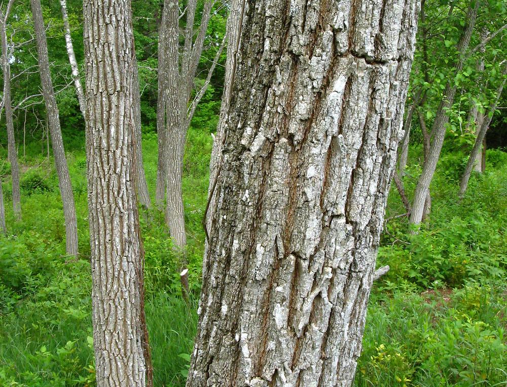 False acacia - Robinia pseudoacacia 40