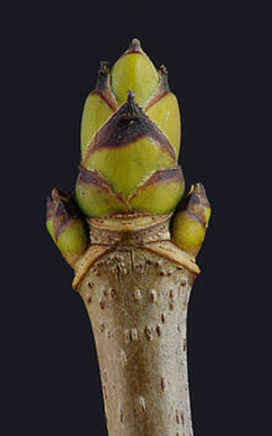 Sycamore - Acer pseudoplatanus 15