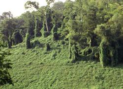 Mile-a-Minute_Weed_-Persicaria_perfoliata_13