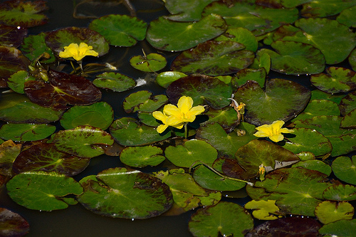 Fringed_Water-Lily_-Nymphoides_peltata_8