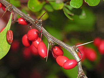 Japanese barberry - Berberis thunbergii 15