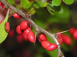 Japanese barberry - Berberis thunbergii 15