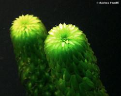 Curly_Waterweed_-Lagarosiphon_major_22
