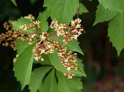 Virginia-creeper - Parthenocissus quinquefolia 22