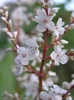 Himalayan_Knotweed_-Persicaria_wallichii_flower_2