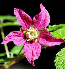 Salmonberry - Rubus spectabilis Flower