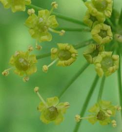 Wild parsnip - Pastinaca sativa 47