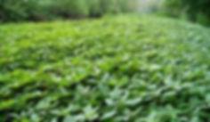 Himalayan balsam - Impatiens gladuliera Invasion