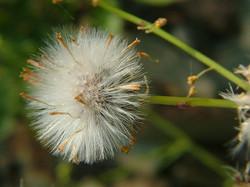 Narrow-leaved ragwort - Senecio inaequidens 22