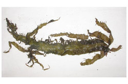 Red Alga - Grateloupia doryphora (11)