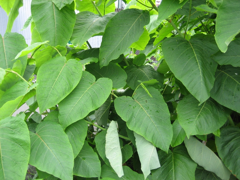 giant_knotweed_leaves