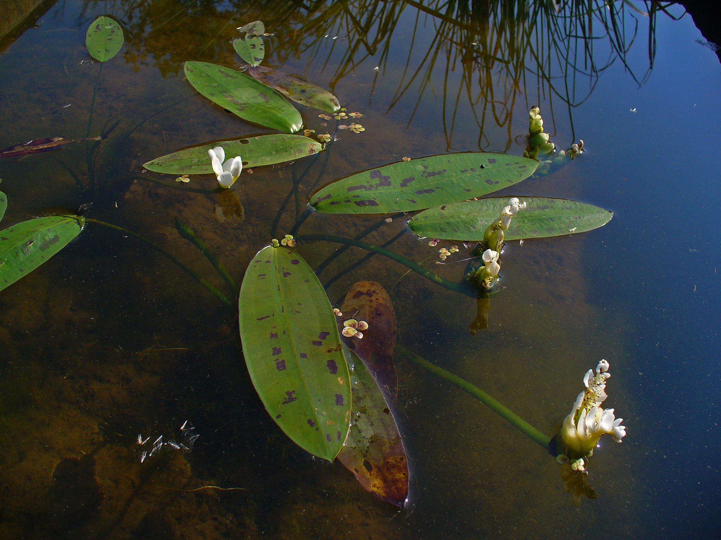 Cape Pondweed - Aponogeton distachyos 7