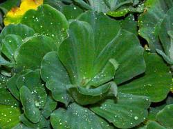 Water_Lettuce_-Pistia_stratiotes_85