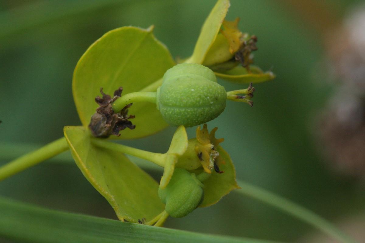 Leafy spurge - Euphorbia esula 23