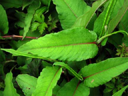 Himalayan_Knotweed_- Persicaria_wallichii_leaf_1
