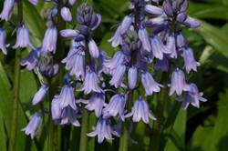 Spanish_Bluebell_-Hyacinthoides_hispanica_36