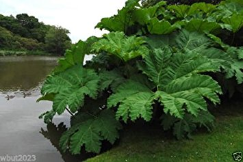 Giant Rhubarb - Gunnera tinctoria leaves - water