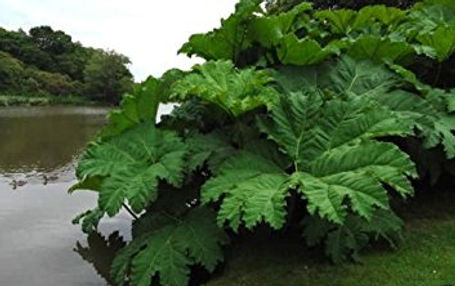 Giant Rhubarb - Gunnera tinctoria Riverside