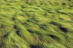 Cordgrasses_-Spartina_10