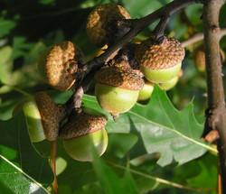 Red oak - Quercus rubra 11