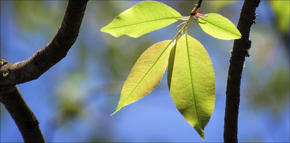 Rum cherry - Prunus serotina 27