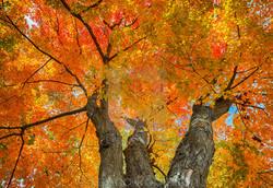 Sycamore - Acer pseudoplatanus 29