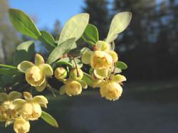 Japanese barberry - Berberis thunbergii 8