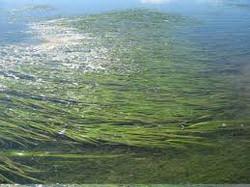 Dwarf Eelgrass - Zostera japonica 17