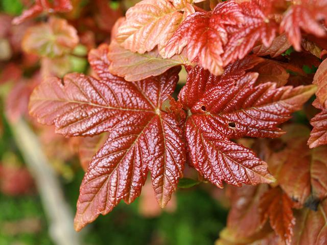 Sycamore - Acer pseudoplatanus 20