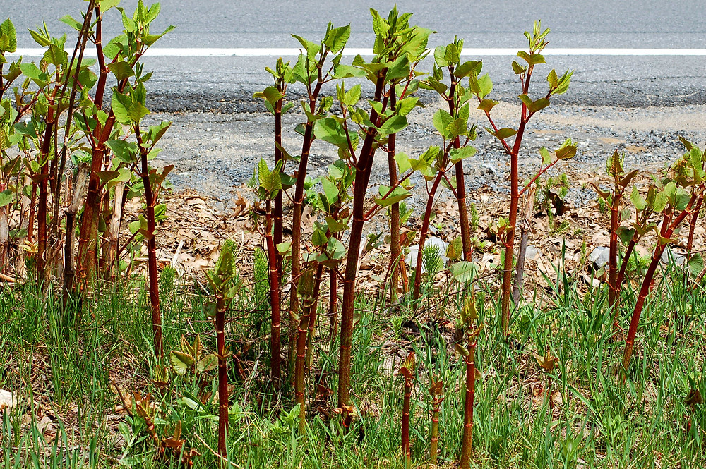 Early Knotweed Shoots