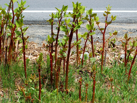 Is Japanese Knotweed Really A Problem?