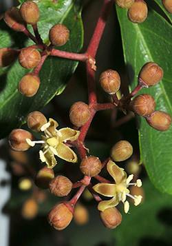 Virginia-creeper - Parthenocissus quinquefolia 13