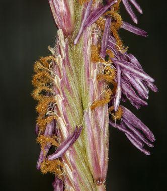 Alkali cordgrass - Spartina gracilis 2