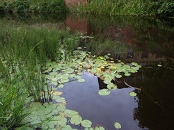 Fringed_Water-Lily_-Nymphoides_peltata_1