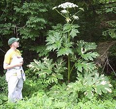 Giant knotweed - Heracleum mantegazzianum in flower